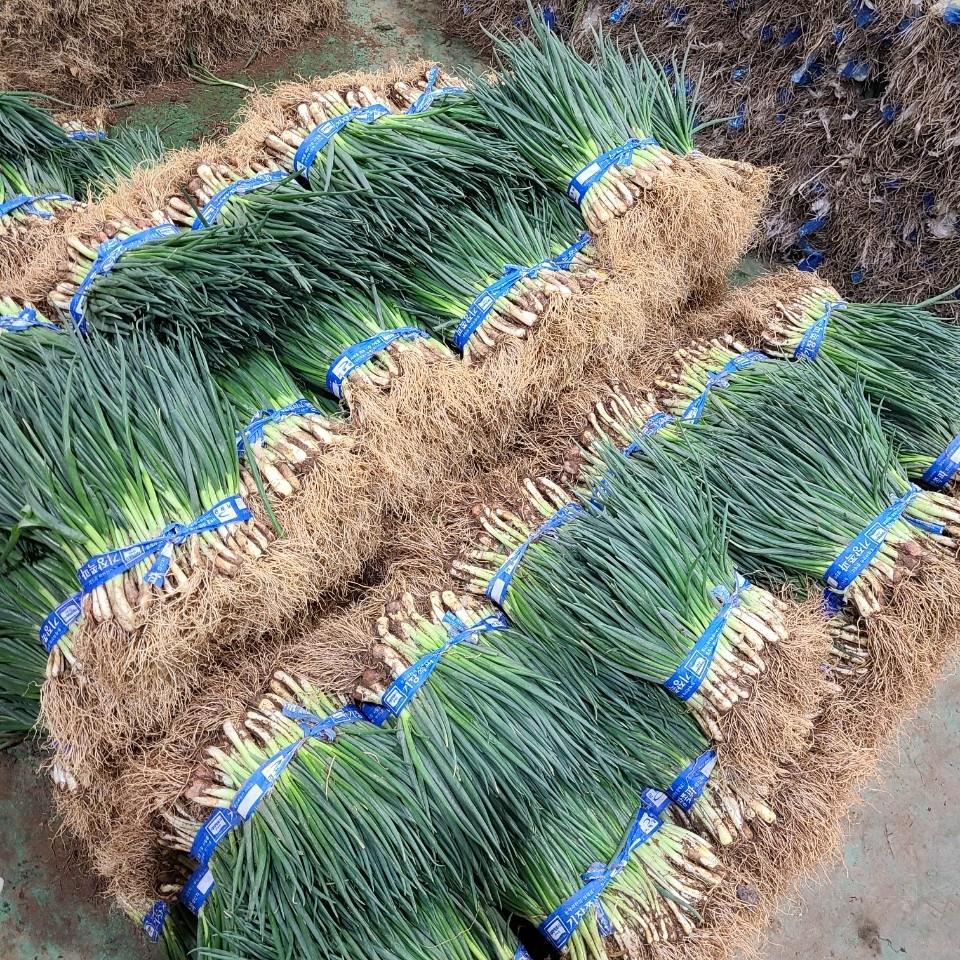 기장 명물 쪽파 잔파 깐쪽파 흙쪽파 1단 (1kg내외), 깐 쪽파 1kg 내외