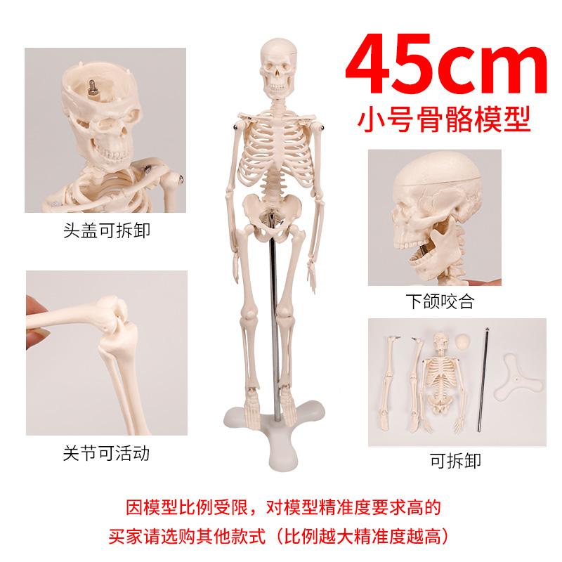 상세 페이지 참조 45cm 인체뼈구조 해골 뼈모형 척추모형 해골표본 골격, A1006 45CM (POP 2077857330)
