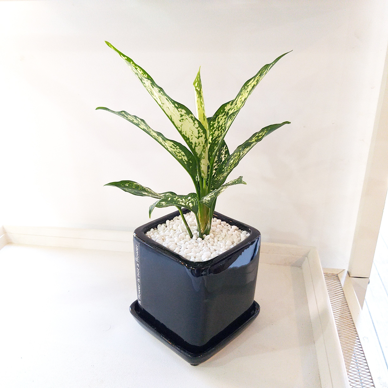 [데일리가든] 모던 인테리어 식물 아글라오네마 스노우사파이어