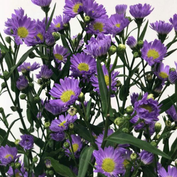 복남이네야생화 아스타 홑연보라 모나치퍼플 [4포트] (10cm포트 가을꽃 모종)