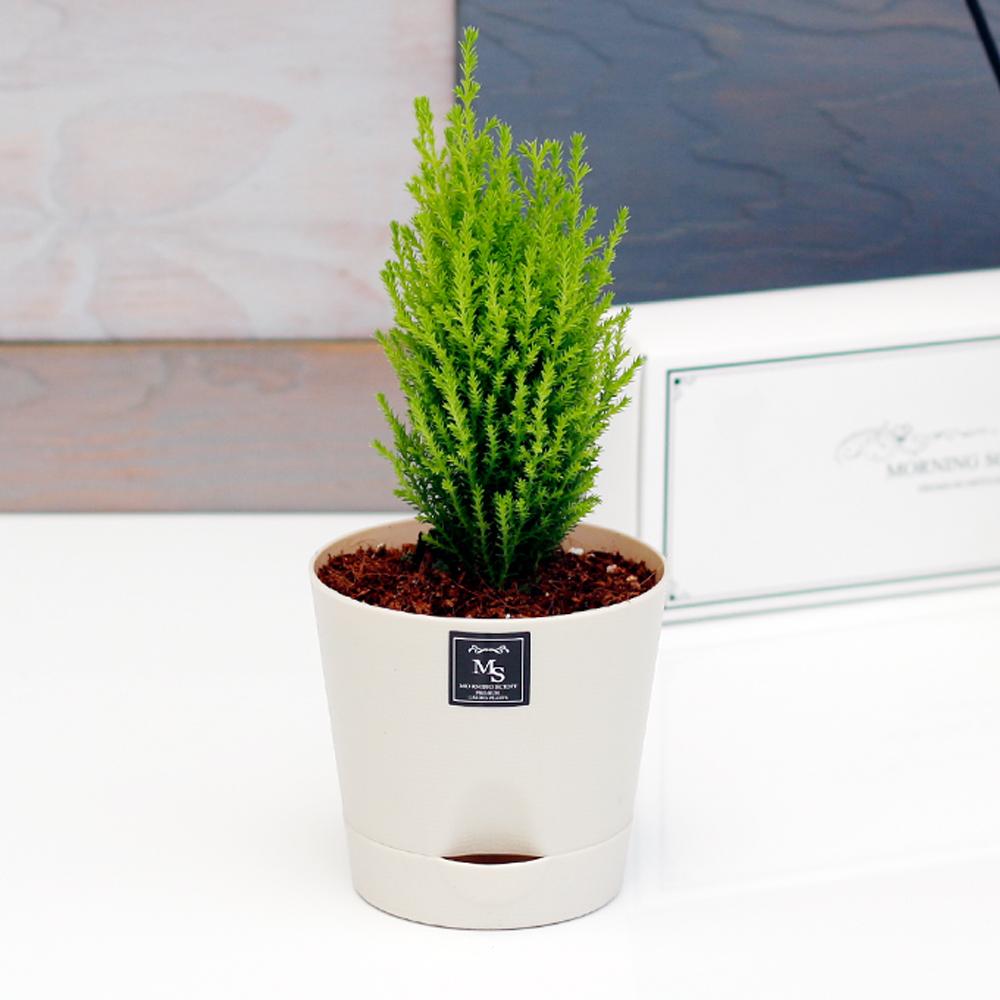 아침향기 공기정화식물 기능성 에코화분 아이보리, (에코화분/아이보리) 율마, 1개