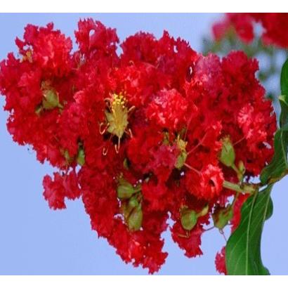 금강원예 배롱나무(백일홍), 배롱나무 다이아나마이트(개화주)- R2
