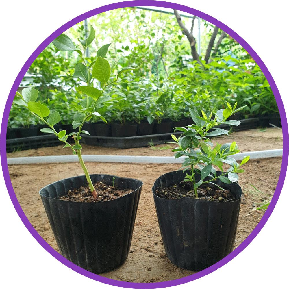 나무 팜(자연농원) [1set=2주] 블루베리묘목, 1세트, 션샤인