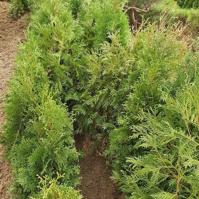 에버그린농원 미측백나무 묘목 높이 1.0이상