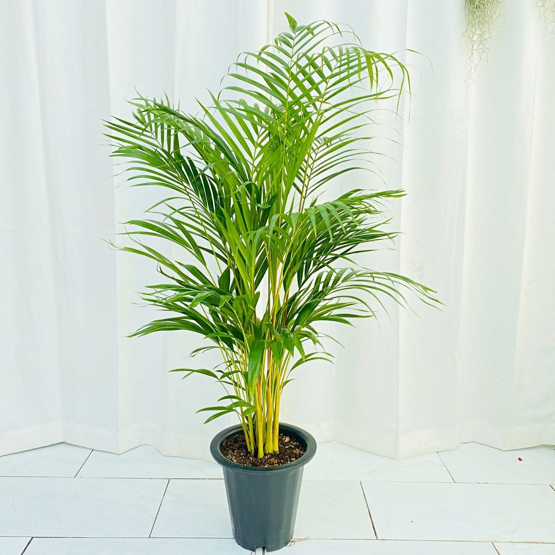청년농부 초특가 대형 아레카야자 공기정화식물 미세먼지제거식물 인테리어식물