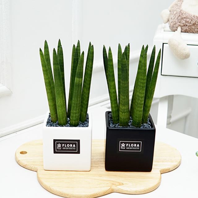 플로라 스투키 미세먼지 실내공기정화 다육식물 거실 인테리어 사각 화분, 화이트+블랙