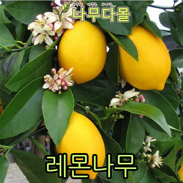 나무다몰 레몬나무 (7치화분)