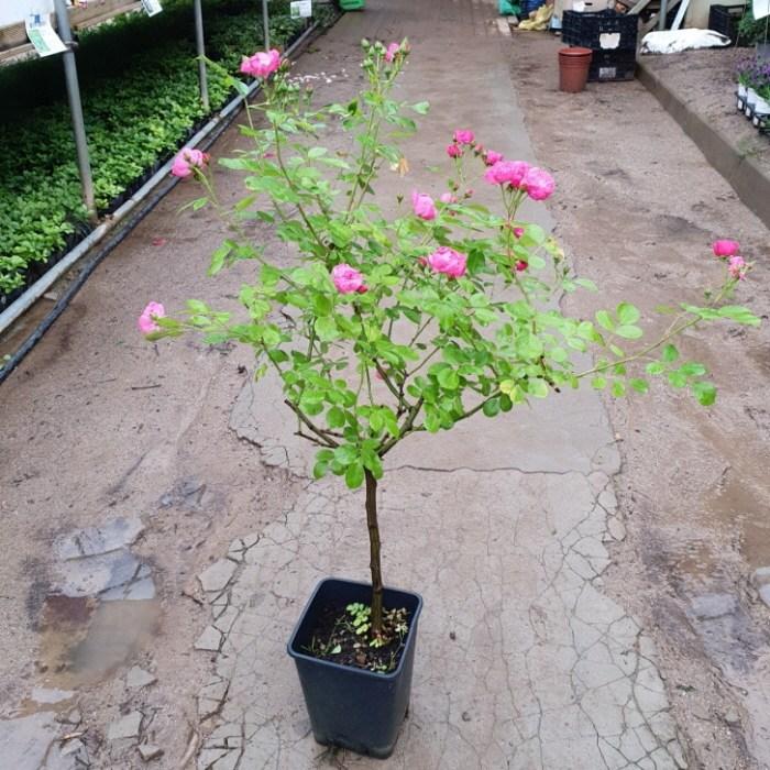 [꽃나무] 정원장미 스탠다드형 100cm 화분 3종류(선택), 1개, 분홍색