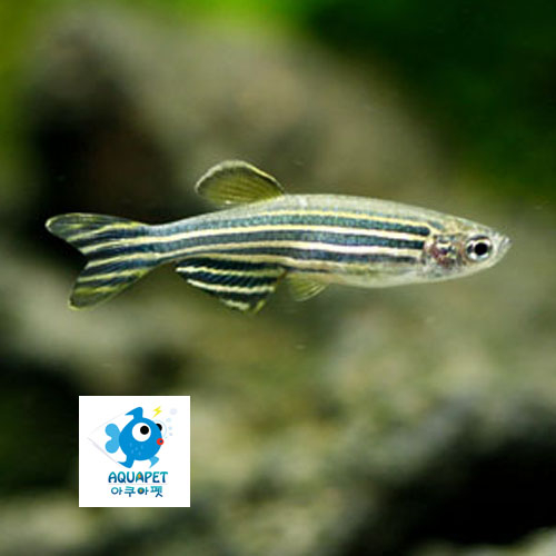 [제브라다니오 25마리] 제브라 다니오[2~3cm]키우기 쉬운 물고기, 1개