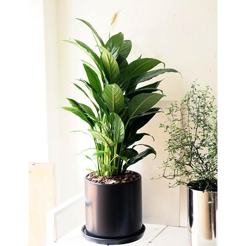 고미플라워 공기정화식물 스파티필름 대형 블랙 화분 세트