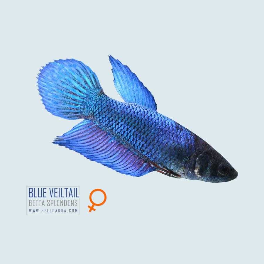 열대어) 베일베타 블르색 암컷 (키우기쉬운물고기 초보자용관상어)