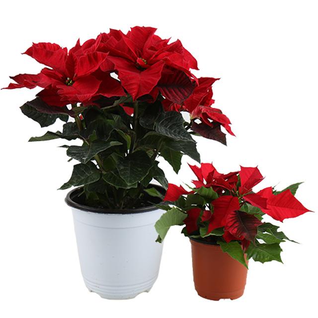 갑조네 포인세티아 소품 공기정화식물 꽃화분 크리스마스 꽃 실내 인테리어, 포인세티아(소품)(빨강)