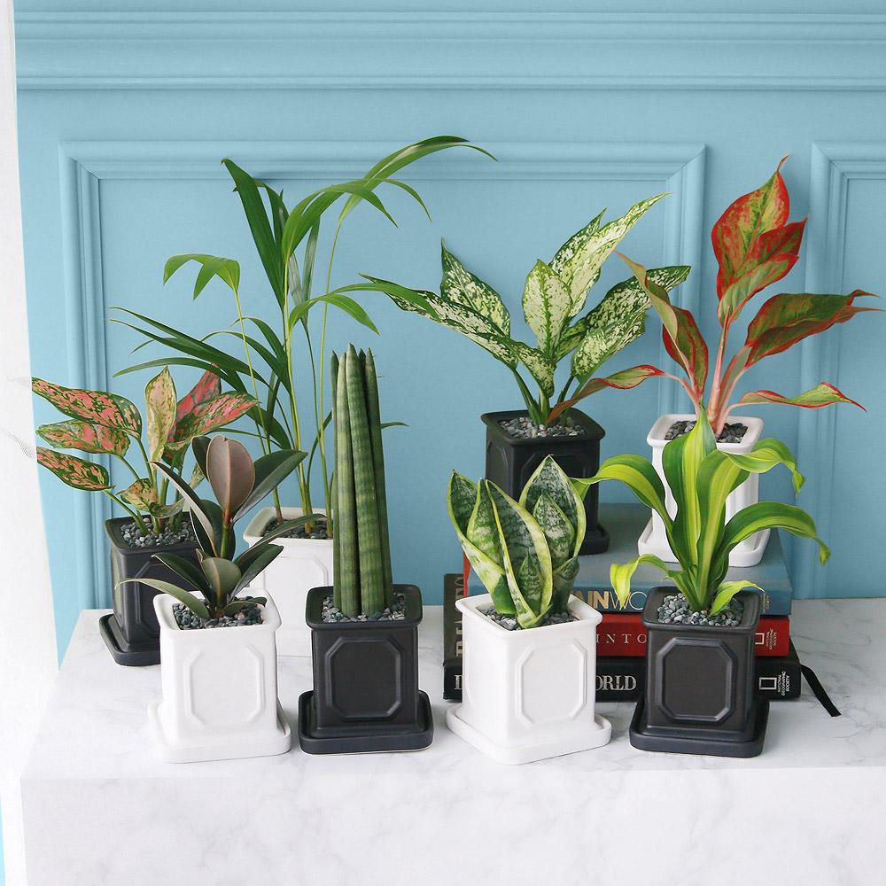 몰딩 화분 공기정화식물 14종, 스노우 사파이어, 블랙