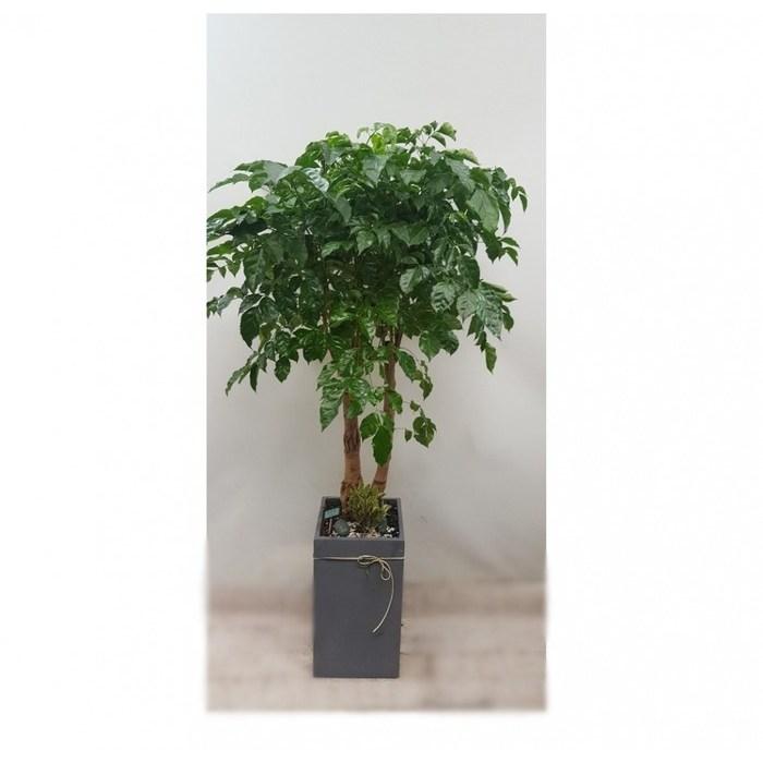 [그린플라워]해피트리(녹보수)대품 개업식 당일배송 관엽 공기정화식물 인테리어식물, 고급