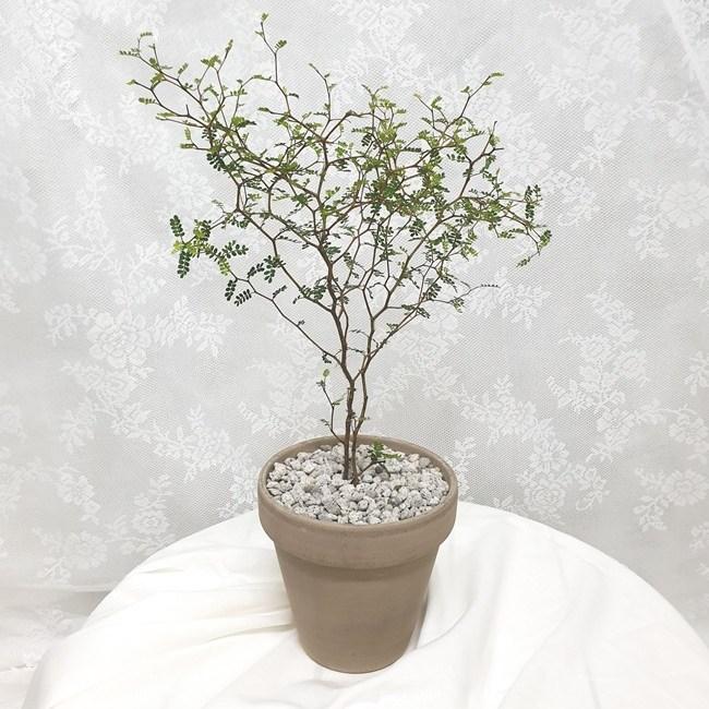 [젤레니쎈] 감성인테리어 필수식물 마오리소포라 중형(받침포함), 1개, 마오리소포라+이태리그레이토분