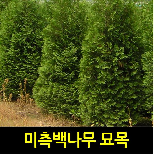 순희농장 미측백묘목 [정품]미측백나무 1m전후 울타리 관상 폐차 방음 방품, 1개, 정품미측백분(1m전후)