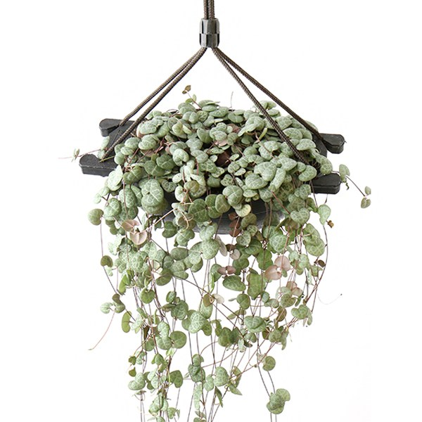 갑조네 행잉플랜트 러브체인(대) 공기정화식물 먼지먹는식물 먼지제거식물 실내인테리어화분