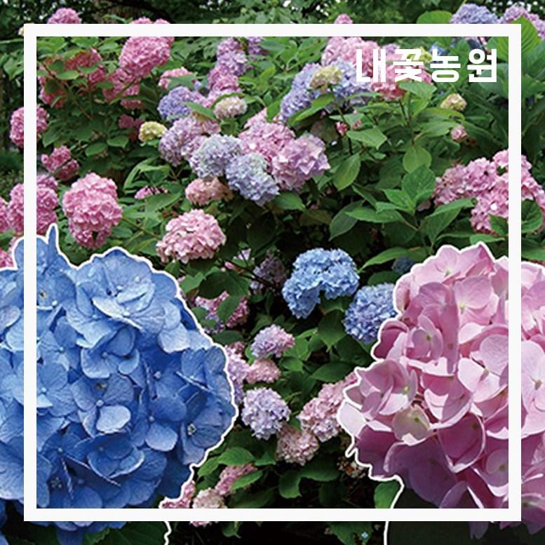정원수국 엔들레스썸머 오리지널 12cm포트
