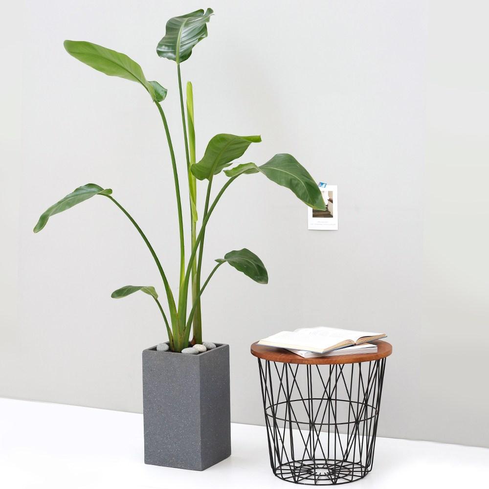 아침향기 공기정화식물 대형화분 FRP 화기 화분 - 여인초 (극락조), FRP 화이트 여인초, 1개