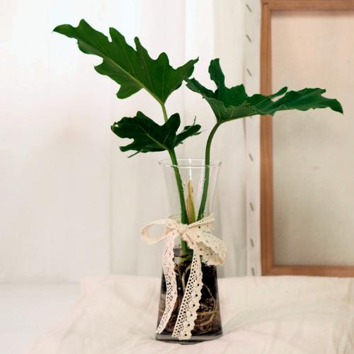 고미플라워 공기정화식물 수경재배 3종 - 스노우사파이어 아레카야자 셀렘, 셀렘+유리화병