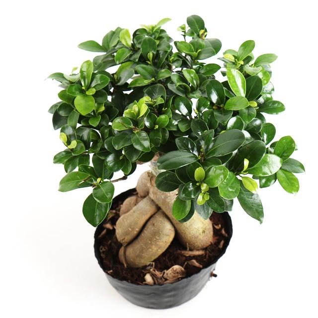 갑조네 인삼펜다 인삼벤자민 공기정화식물