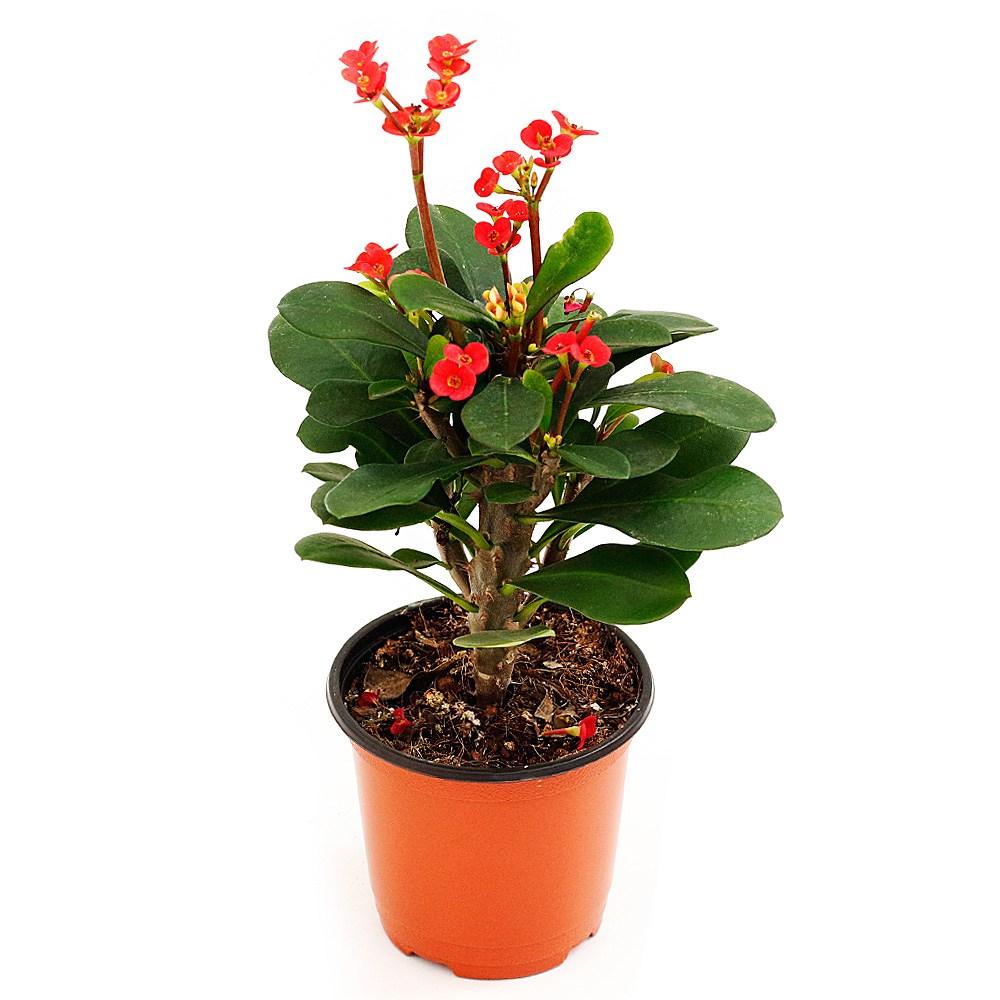 아침향기 공기정화식물, 꽃기린, 1개