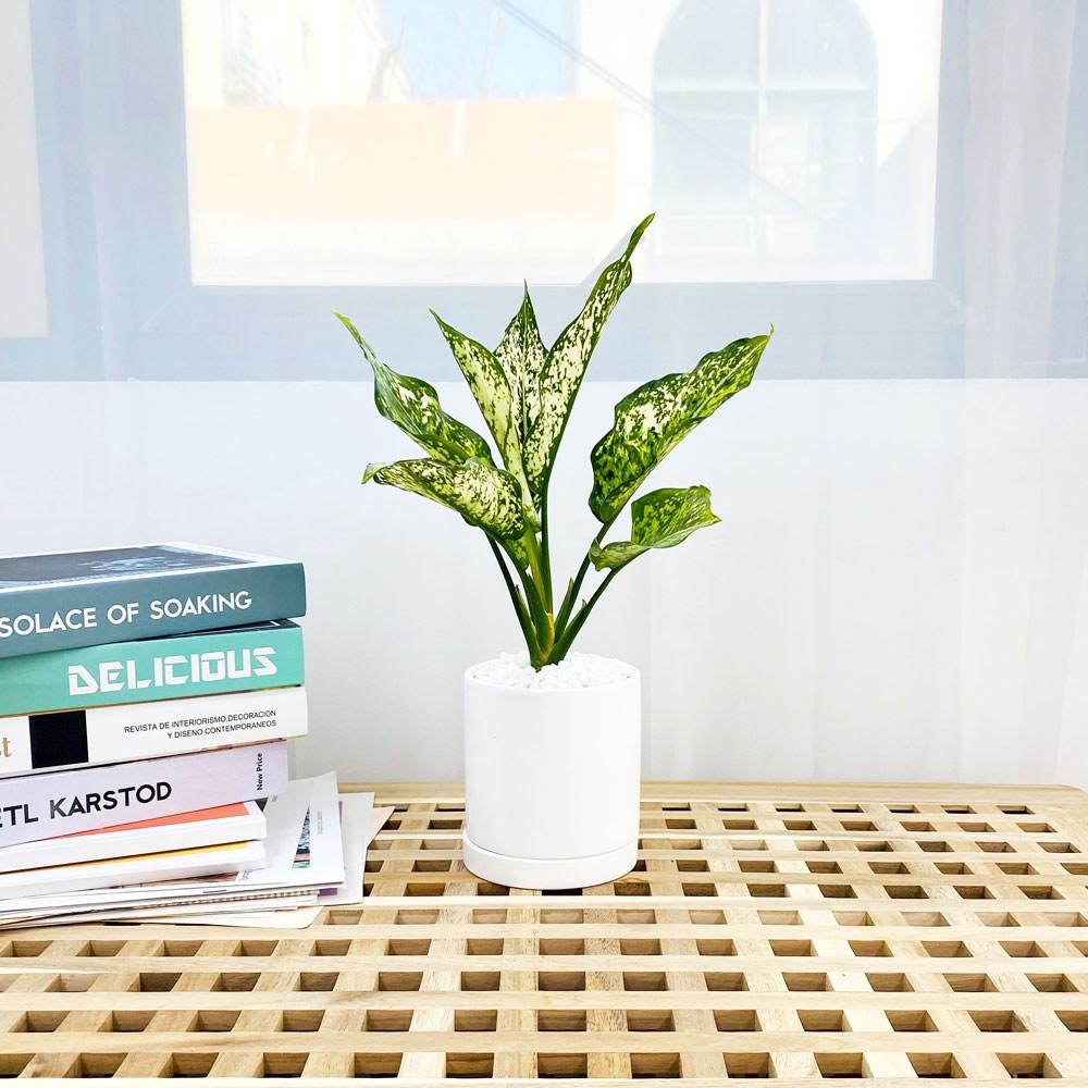 앙플랜트 원형 화이트 화분 공기정화식물 set, 스노우사파이어소품/플라스틱 기본 포트