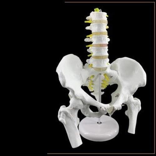 인체모형 해부학 인체구조 뼈 해골 관절피규어 골격 장기위치 골반모형부 5단 척추모형 분골, 01 골반뼈