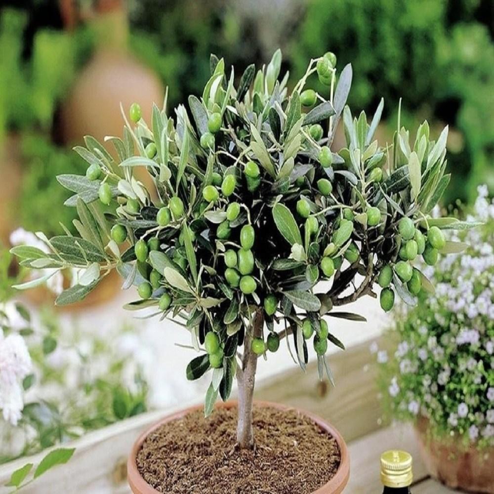 시스랩원예종묘 호지블랑카 올리브나무, 호지블랑카 올리브나무 4치포트