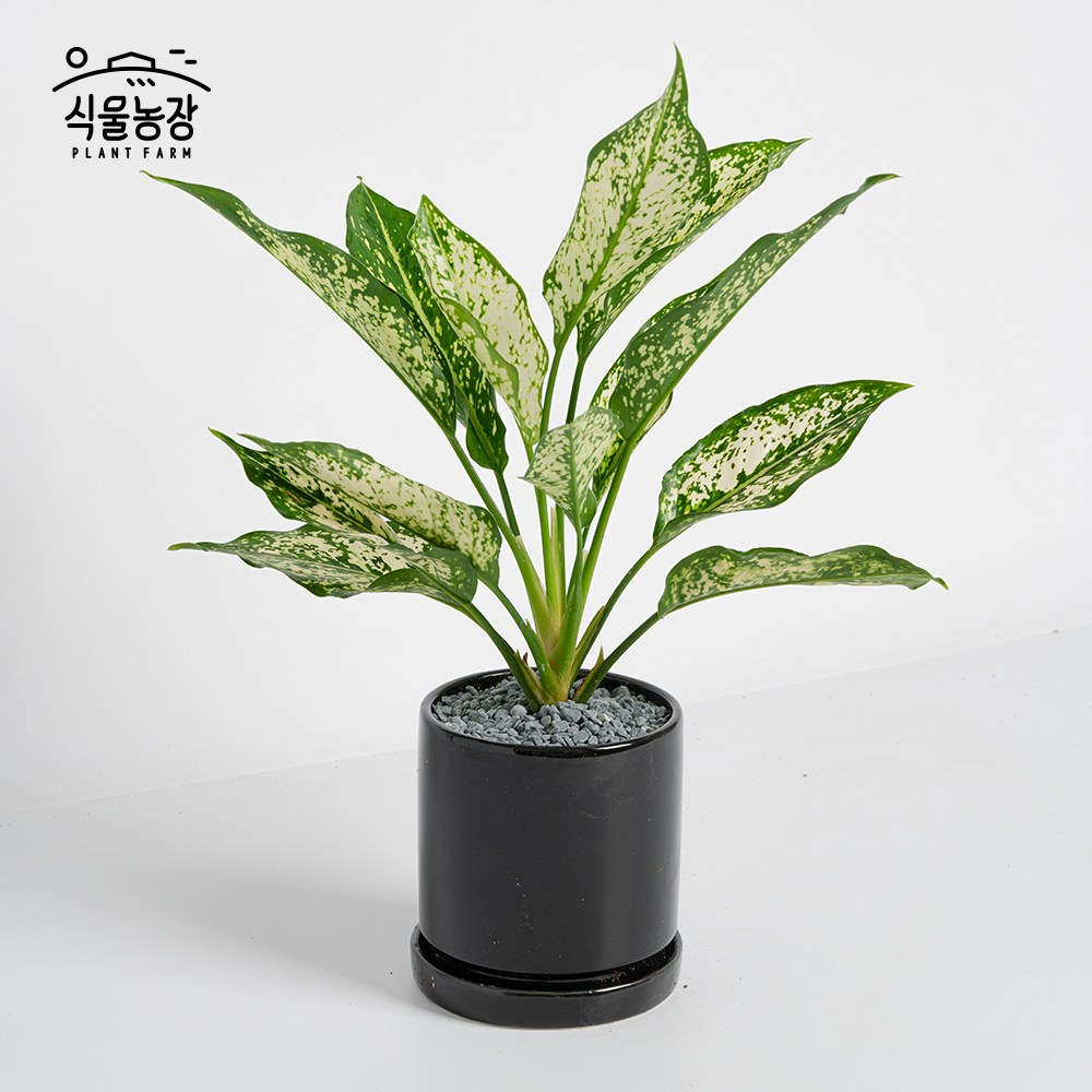 식물농장 아글라오네마 스노우사파이어 미니화분 레옹 화분, 1개, 세라믹화분+블랙+무광