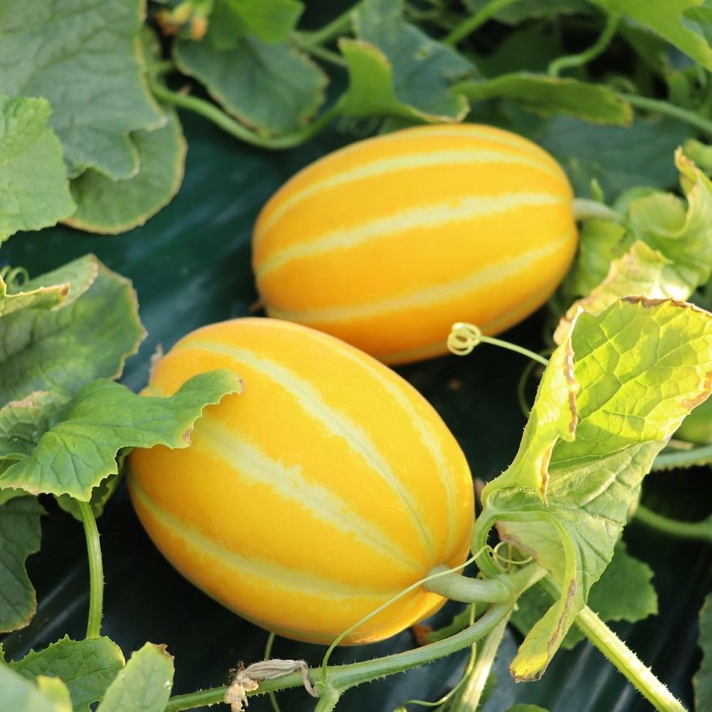 참외모종 야채모종 과일모종 베란다 텃밭 모종, 5주
