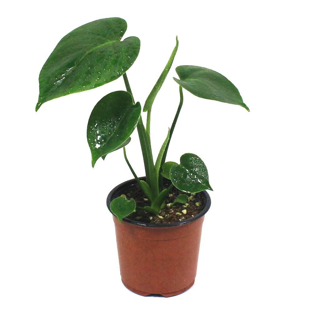 몬스테라 (소) 실내 거실 공기정화식물 미세먼지제거 반려 식물 인테리어, 몬스테라(소)