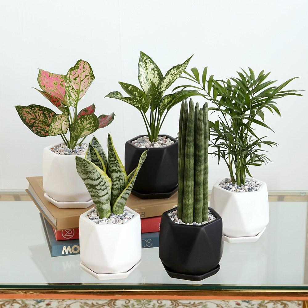 리솜 화분 공기정화식물 8종, 화이트, 스노우 사파이어