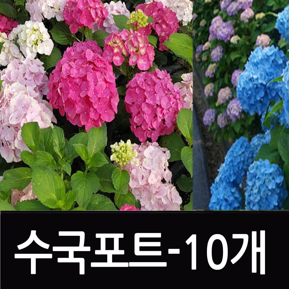 순희농장 수국나무묘목 수국묘목 수국모종 수국포트 포트10개 수국꽃 조경수 수국포트-10개