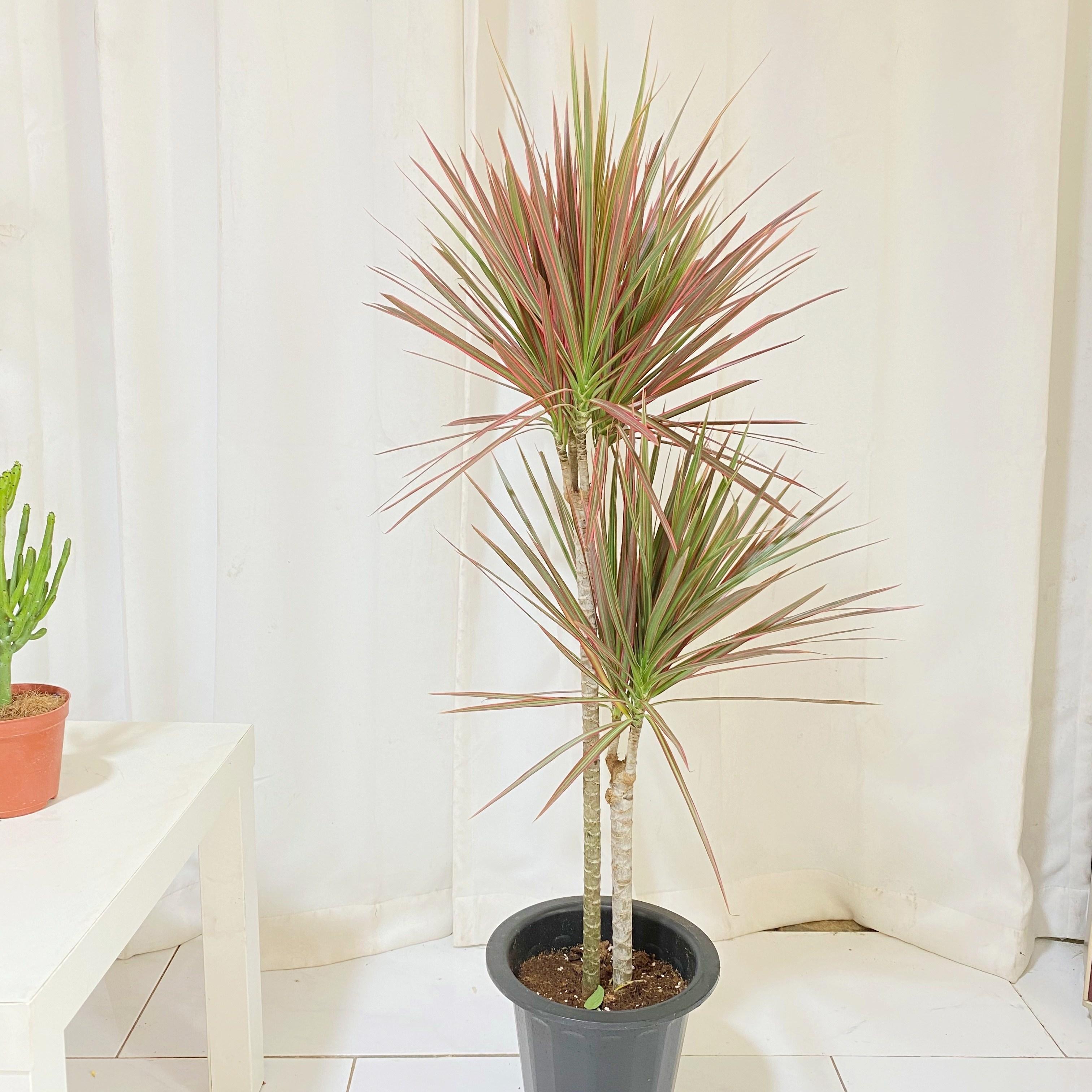 청년농부 레인보우 마지나타 나무 식물 중형식물 인테리어식물