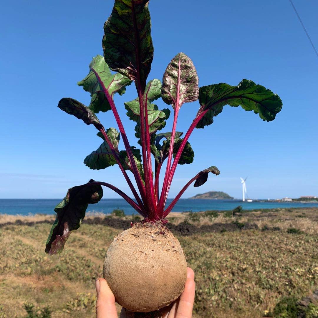 [띠앗농장] 당일수확 햇비트 제주 레드비트 5kg/10kg, 비트(주스용) 10kg
