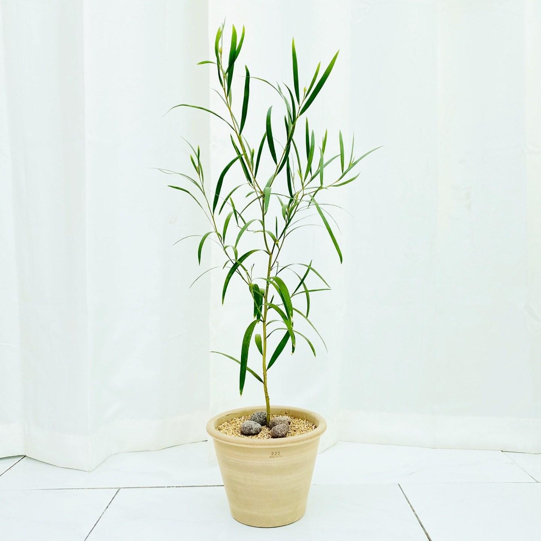 청년농부 긴잎아카시아 이태리토분 완제품 공기정화식물 선물추천 인테리어식물