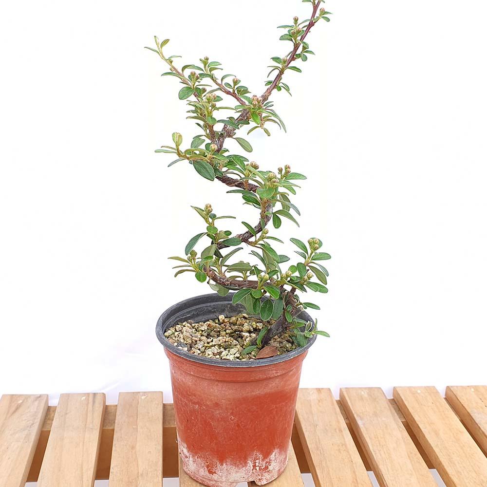 백자단 미니 분재 빨간열매 나무 책상 화분 선물