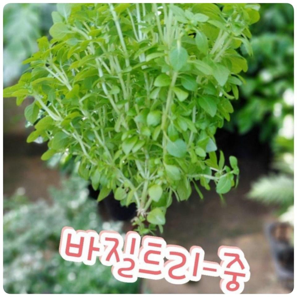 꽃나라엘리스 바질트리-중-요즘 TV에 방영중인 핫한 식용식물