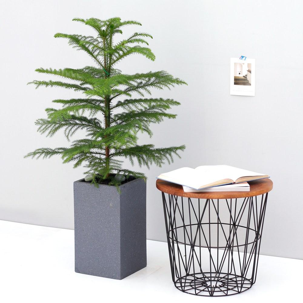 아침향기 공기정화식물 대형화분 FRP 화기 화분 - 아라우카리아, 1개, FRP 그레이 아라우카리아