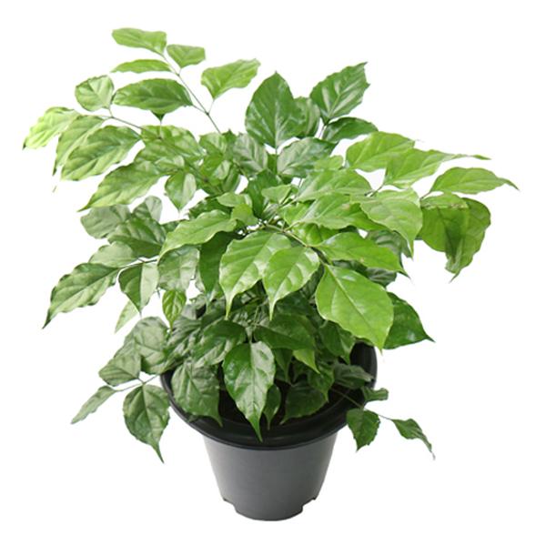 갑조네 녹보수 중형 공기정화식물 대박나무 미세먼지 관엽식물