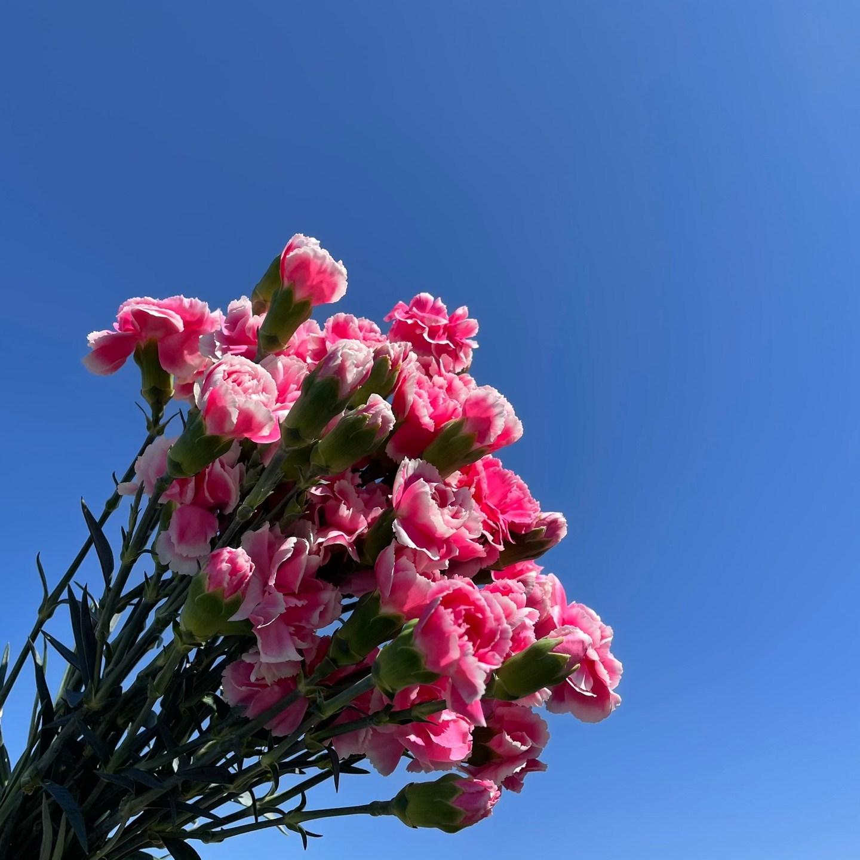 생화 스프레이 카네이션 한단 온라인꽃도매 농장 직송 택배, 체리테시노(핑크복색)