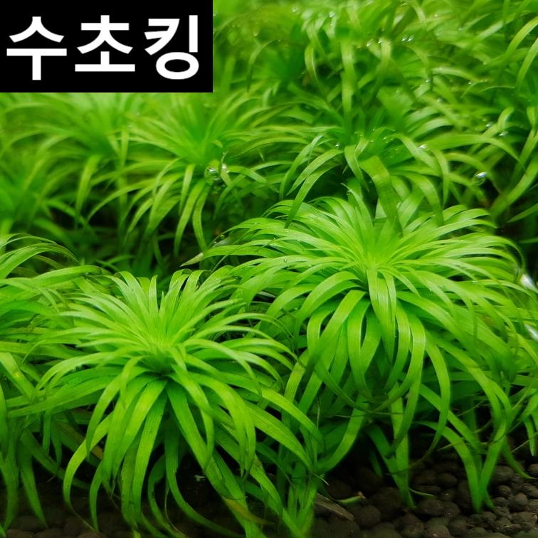 수초킹 키우기 쉬운 초보수초 토니나 sp. 3촉 5천원