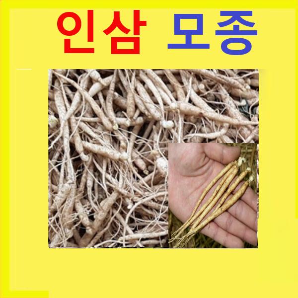 (DM소망)인삼모종(종근2년생 묘삼750g 약300-600개)