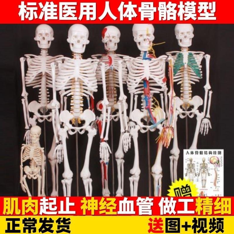 해부 인체 사람 모형 모델 의대생을위한 학 시뮬레이션 척추 척추 인간 해골 골격, 20cm 흰색 해골 벽 차트 (POP 5695615128)
