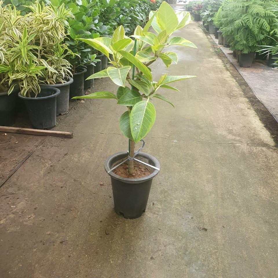 뱅갈고무나무 외목대 중대품 70~100cm 199