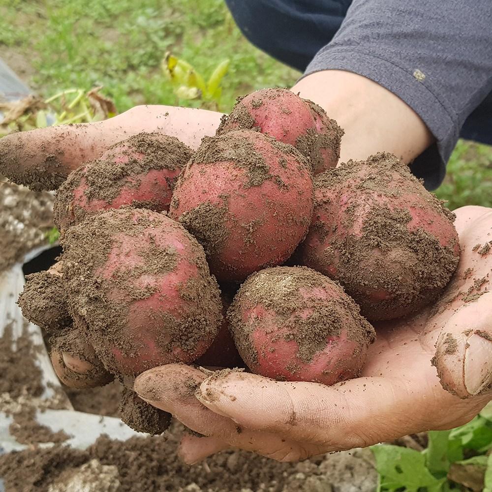 친환경팔도 속이노란 붉은 햇 홍감자(대특혼합) 3kg, 단품