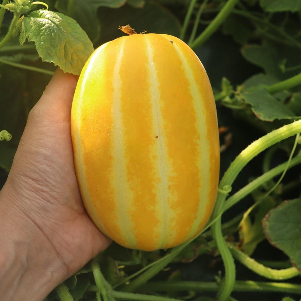꿀 참외모종 육묘장직송 과일 모종 텃밭 농장, 5주