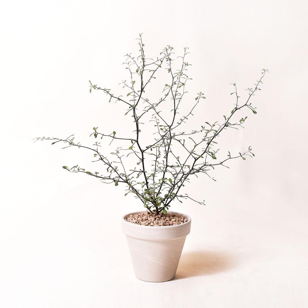 필플랜트 인테리어식물 공기정화식물 마오리소포라 율마 스투키 문샤인 유칼립투스 올리브나무, 1개, 6.마오리코로키아+독일토분 화이트크림