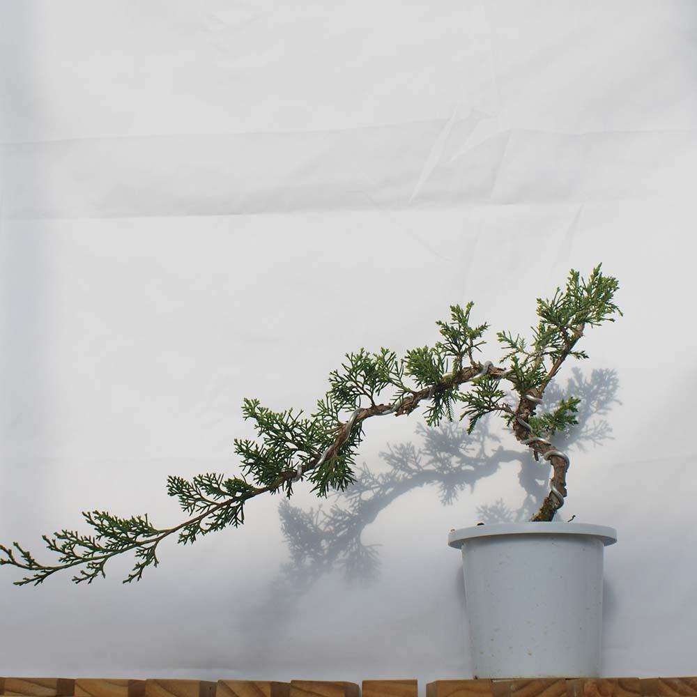 사어천 진백 현애 분재 눈향 나무 묘목 베란다 조경 인테리어 식물